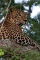 Zdenek leopard 2015